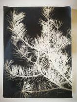 Photogramme, branche de sapin