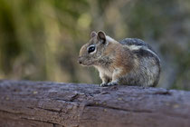 Goldmantel-Ziesel (Spermophilus lateralis) / Golden-mantled ground squirrel (Callospermophilus lateralis)