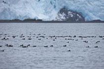 Tausende Rhinoceros Auklets versammelten sich vor den Gletschern.