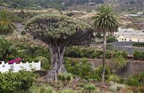1000jähriger Kanarischer Drachenbaum (Dracaena draco) bei Icod de los Vinos im Norden der Insel.