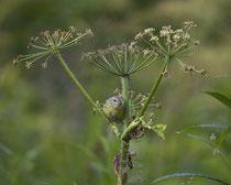Orangefleck-Waldsänger (engl. Orange-crowned Warbler, Vermivora celata)