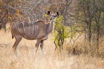 Großer Kudu (Tragelaphus strepsiceros) / Greater kudu