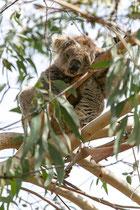 Koalas leben fast ausschließlich von Blättern und der Rinde der Eukalyptusbäumen.