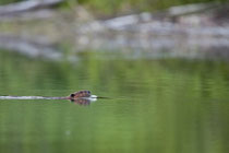 Kanadischer Biber (Castor canadensis)