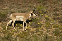 Gabelbock (Antilocapra americana) / Pronghorn