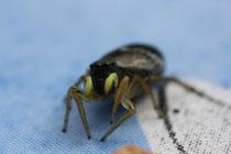 4eyes are watching you / Springspinne (Heliophanus cupreus)