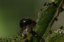 Blattwespenlarven