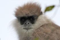 "T. v. monticola im Bergland - ""Bear Monkey"" - Horton Plains (Sri Lanka)"
