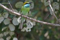 Kalametiya (Sri Lanka) - orientalis orientalis