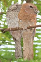 Ceylonfroschmaul
