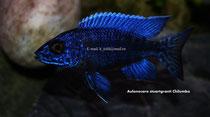 Aulonocara stuartgranti Chilumba (самец 9см)