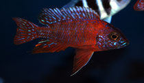 Aulonocara spec. Rubin Red (roter Kaiser)