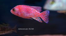 Aulonocara spec. Fire Fish (самец)