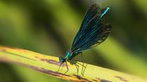 Blauflügel-Prachtlibelle M / Calopteryx virgo virgo; Limpach Uetendorf Juni 2018
