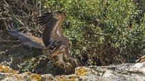 Gänsegeier / Griffon Vulture