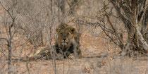 Mähnenlöwe mit Löwin