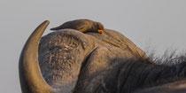 Rotschnabelmadenhacker schmiegt sich an seinen Büffel