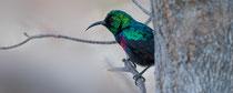 Kleiner Bindennektarvogel