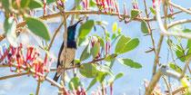 Weissbauchnektarvogel