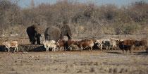 Rinder und Elefanten an der Tränke