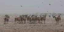 Elenantilope Herde