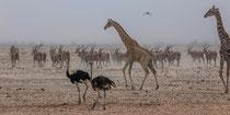 Giraffe, Strauss und Elenantilope