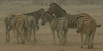 Zebras im Sandsturm