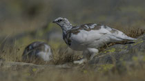 Alpenschneehuhn / Rock Ptarmigan