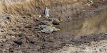 Nama Flughühner am Wasserloch