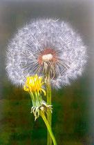 Busterblume mit Blüte: 40x60cm