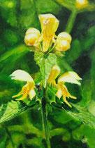 Gelbe Taubnessel: 40x60cm