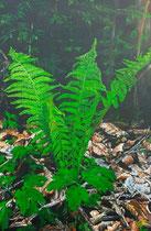 Farn auf Waldboden 1: 40x60cm