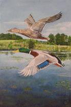 Fliegendes Stockenten Paar über dem Bommerweiher: 40x60cm