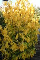 Indianerbanane in schmuckem Herbstkleid