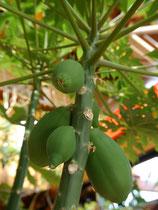Papaya Sorte carica