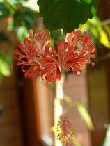 Hibiskus schizopetalus orange