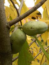 Früchte der Indianerbanane Sorte Sunflower