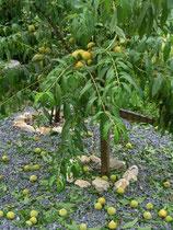 Prunus Perchoche