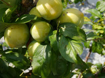 Japanische Pflaume - (Prunus salicina)