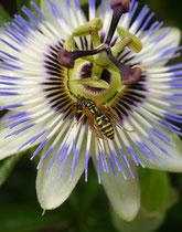 Berauschende Nektarquelle - Passiflora Caerulea
