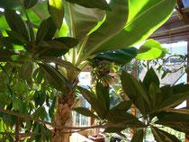 2 jährige Bananenstaude