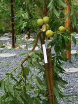Prunus Neuzüchtung