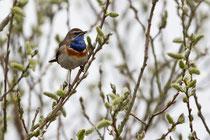 Blaukehlchen, Männchen