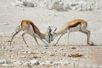 Kämpfende Springböcke