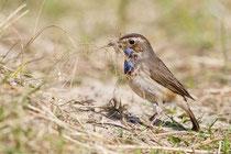 Blaukehlchen, Weibchen
