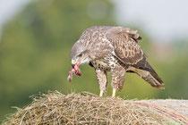 Mäusebussard_Jungvogel