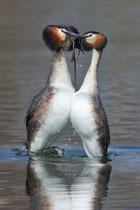Haubentaucher, Pinguintanz