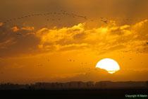 Kraniche bei Sonnenaufgang im  Barther Bodden