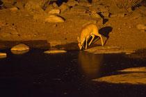 Damara Dik-Dik nachts am beleuchteten Wasserloch