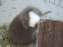 Trésor, bélier angora havane grosse liste blanche yeux bleus ( AMANDE X TIMY)